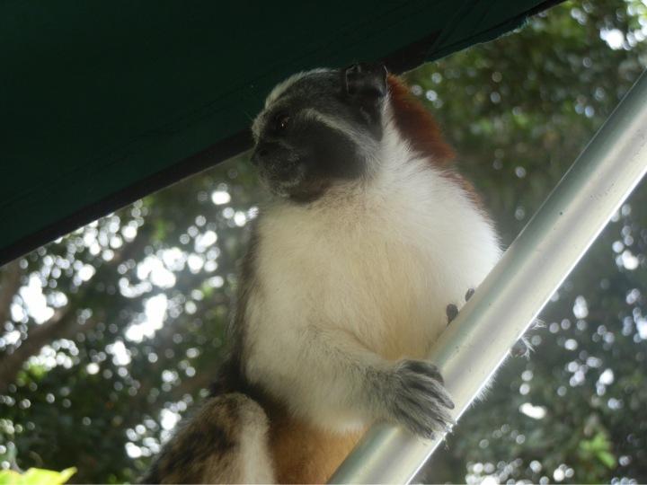 Monkeys in Panama