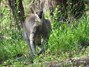 A Rock Wallaby popped out of the bush to say hello