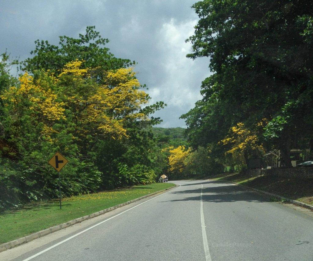 Poui Trees,  sandy Bay Main road,  Hanover Jamaica
