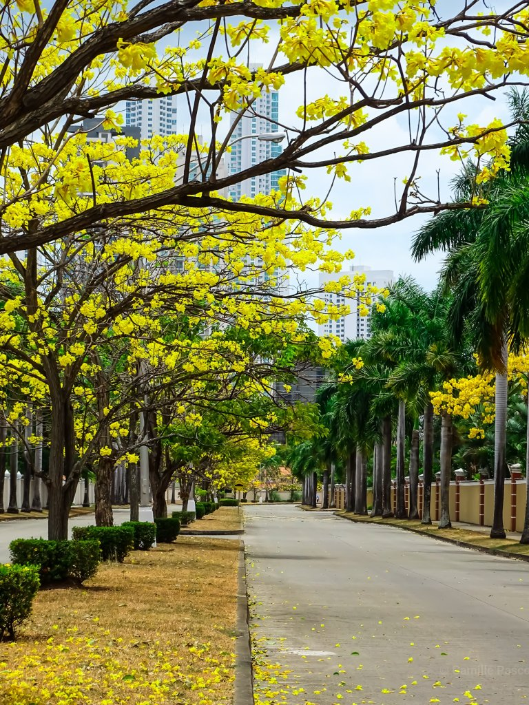 Poui trees, Costa Del Este,  Panama