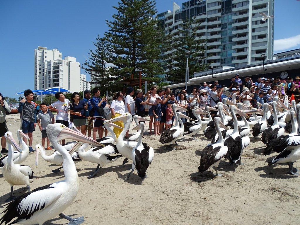 Australian Pelicans At Charis Seafood  Labrador, Gold Coast