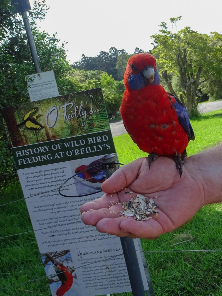 Crimson Rosela -Wild Bird Feeding At O'Reillys