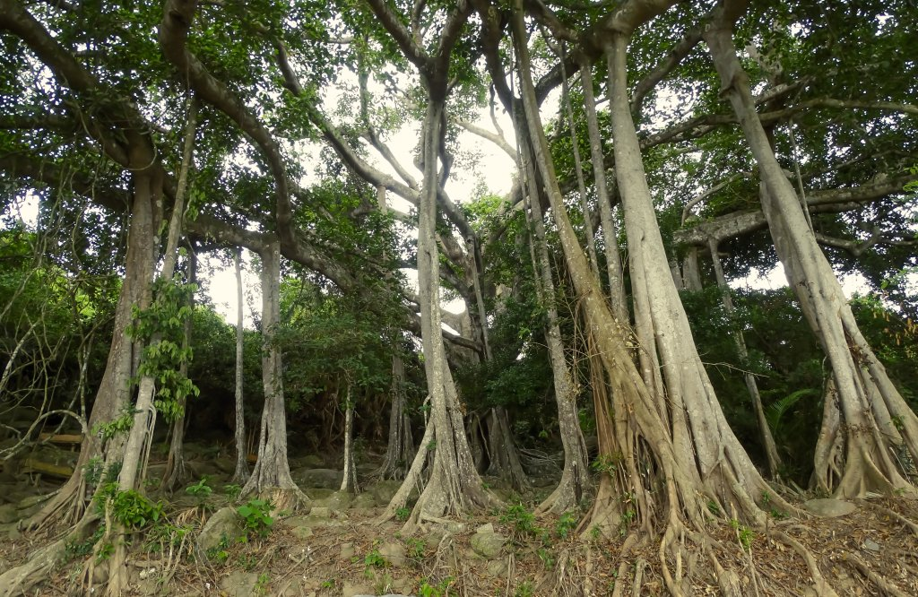 The famous centuries old Banyan Tree at Son Tra Vietnam