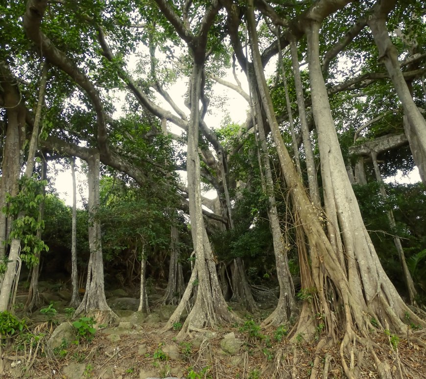 800 year old Banyan Tree (Ficus) at Son Tra Vietnam